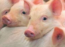 MPF02 - Baby pigs Kismalacok 3D képeslap 148 * 105 MM