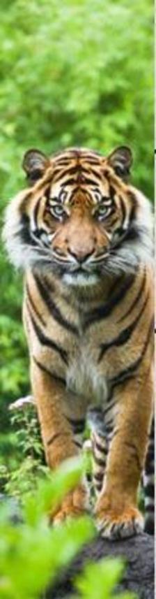 MCZ40 - BENGAL TIGER